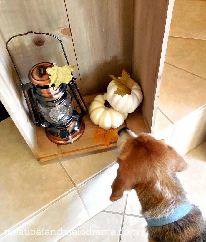 beagle looking at wood crate with lantern and pumpkins