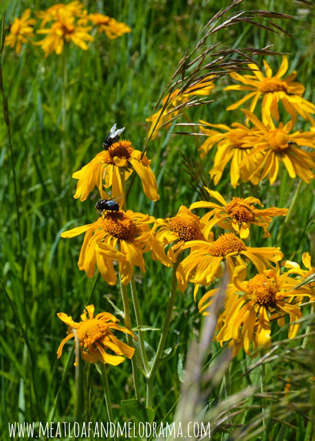 bees on yellow wildflowers in Flagstaff
