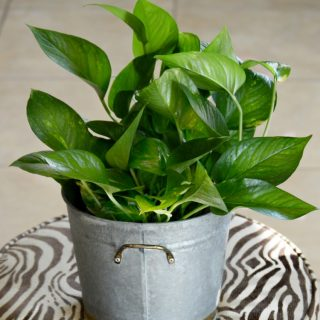 plant-cuttings-pothos--in-galvanized-bucket